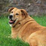 dog 150x150 - Is your dog overweight?