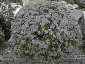 flower-grey