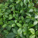 black face general herb 150x150 - Black Face General Plant Herb for Detox