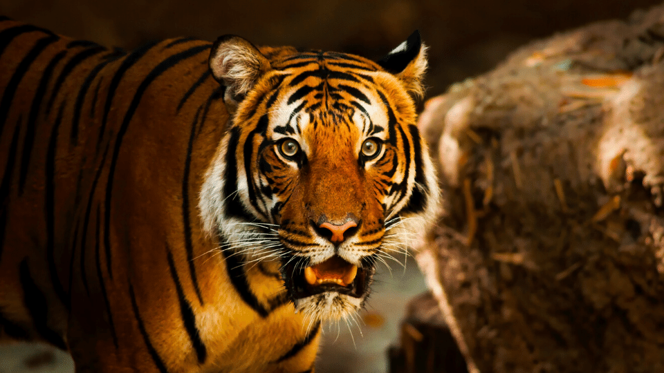 tiger - The karmic consequences of consuming wildlife